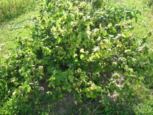 Как обработать кусты смородины с наступлением весны?