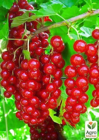 Смородина красная щедрая — характеристики сорта