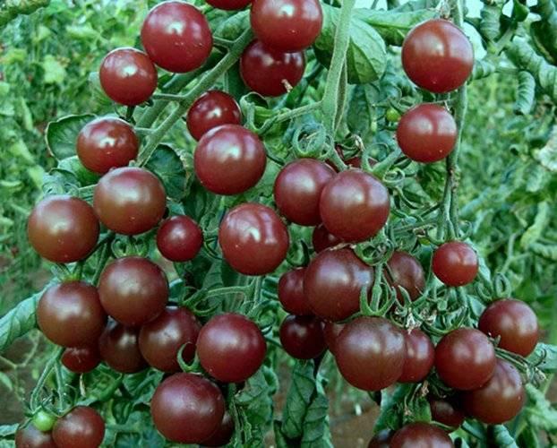 Покоривший сердца огородников во всем снг — огурец каскад: описание сорта, отзывы о выращивании