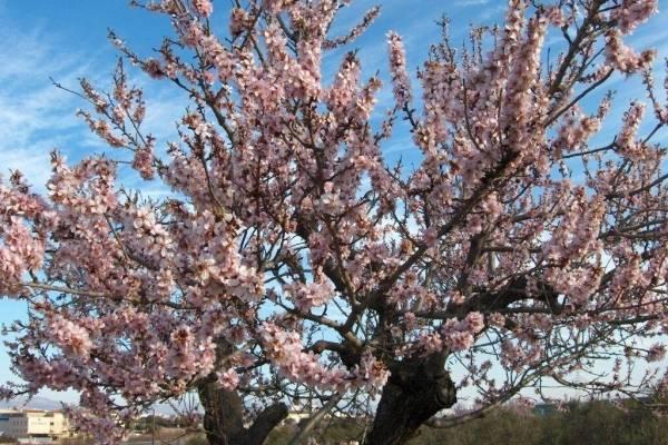 Цветущий миндаль: особенности кустарника, цветения и ухода