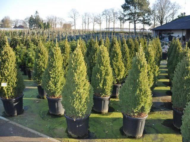 Ель коника: сажаем и ухаживаем за карликовыми хвойными деревьями. инструкция по посадке, выращиванию и размножению карликовых елей.