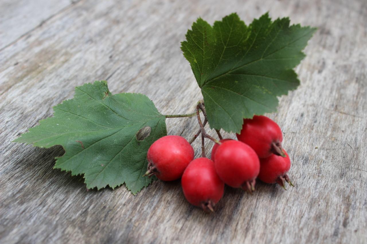 Боярышник кроваво-красный – природный лекарь нашего сердца