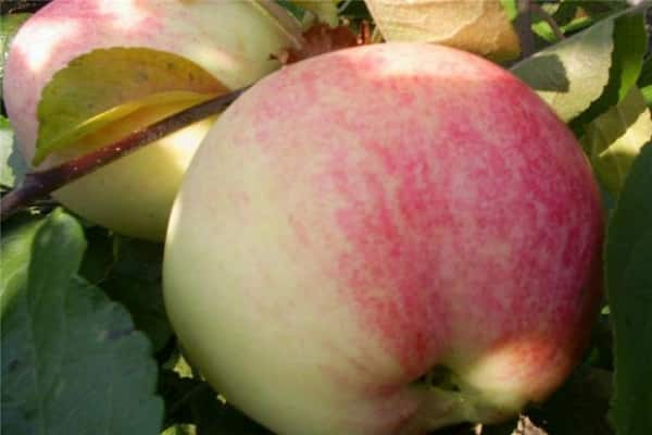 Яблоня «бельфлер-китайка»: особенности выращивания и уход