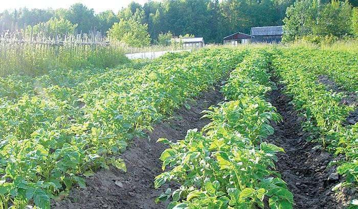 Обработка картофеля от фитофторы: лучшие методы и средства