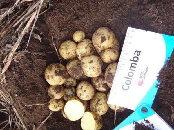 Картофель агата — описание сорта, фото, отзывы, посадка и уход