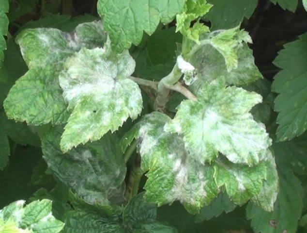 Почему засыхают ветки у смородины