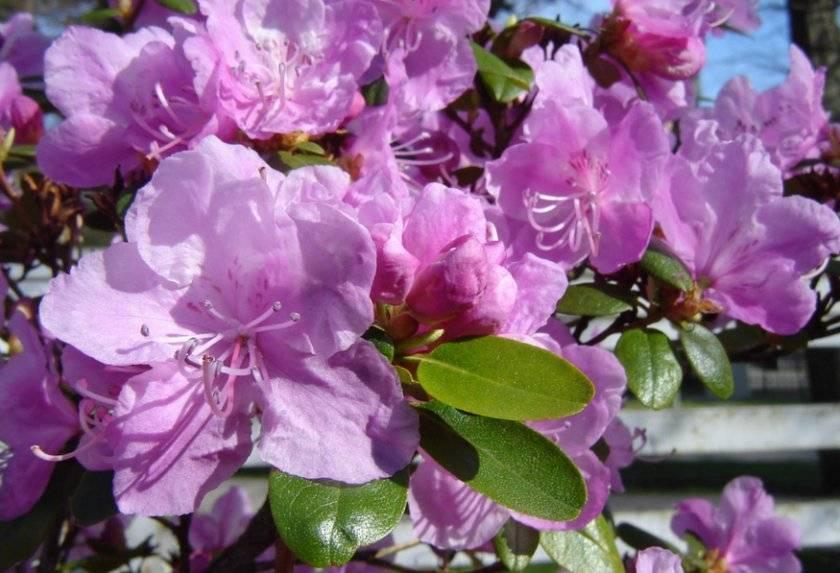 Рододендрон шлиппенбаха: выращивание из семян и фото азалии