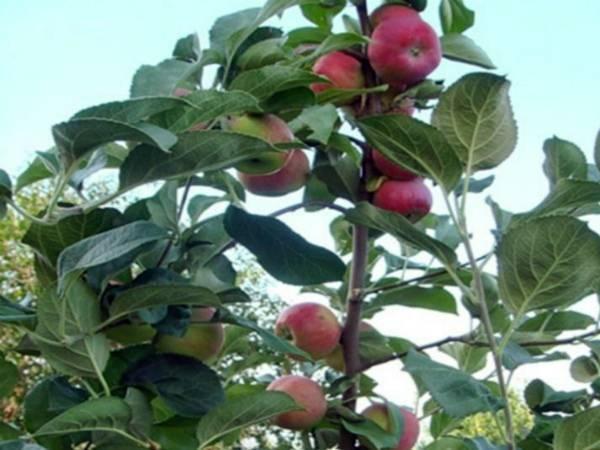 Яблоня «серебряное копытце»: описание сорта и агротехника выращивания