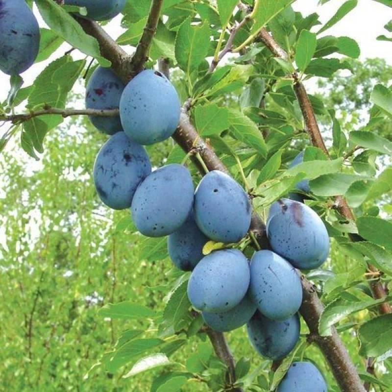 Особенности неприхотливого отечественного сорта сливы синий дар