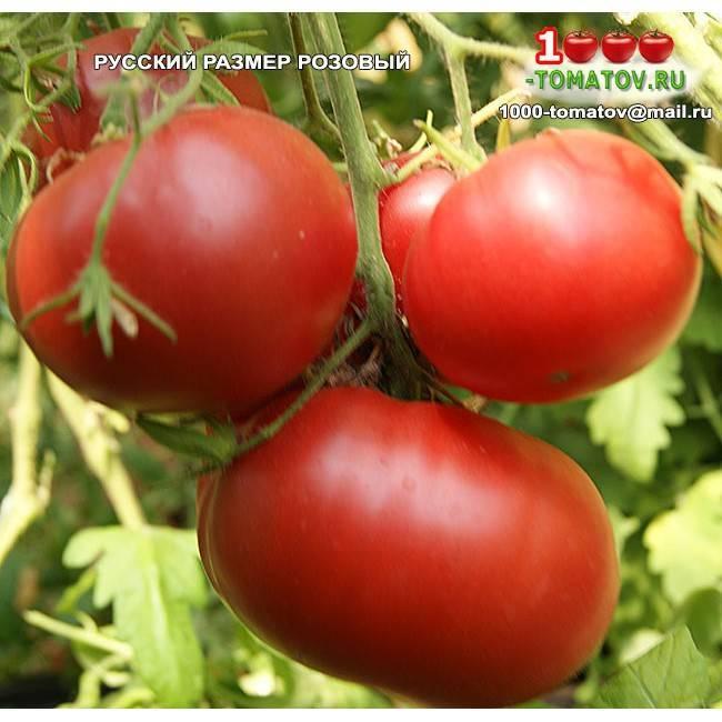 Классический сорт томата английской селекции — «черный русский»: описание и рекомендации по выращиванию