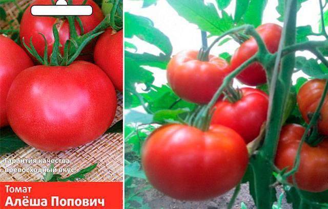 Главные достоинства сорта томата «алеша попович»