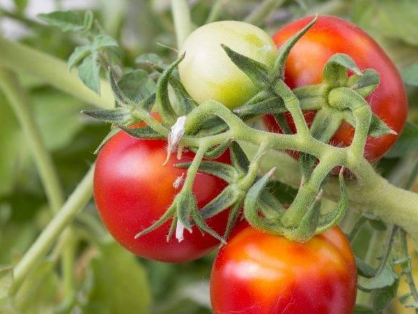 Томат леопольд f1 — описание сорта, фото, урожайность и отзывы садоводов