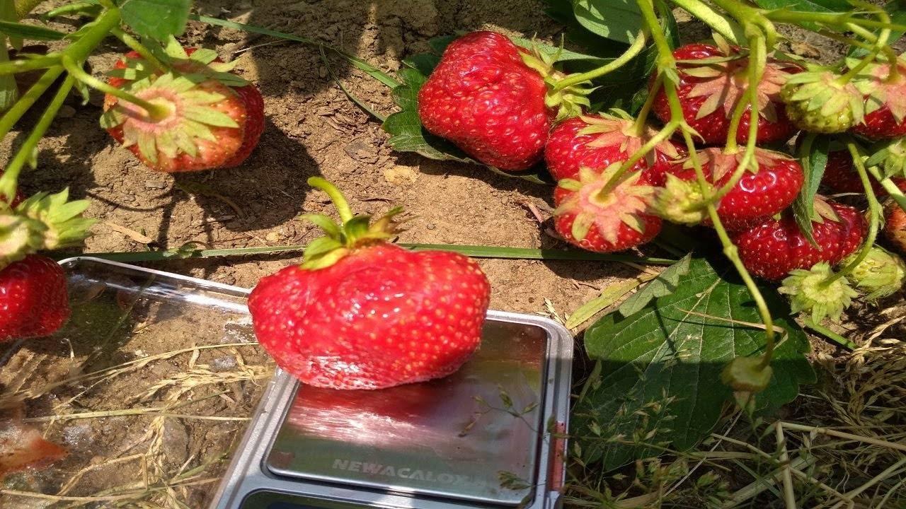 Как посадить и вырастить клубнику (садовую землянику) сорта «вима занта»