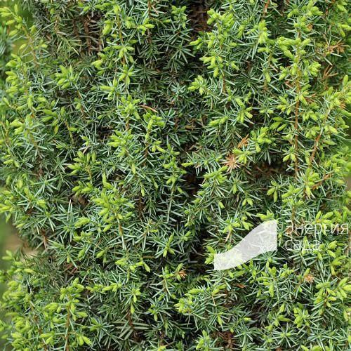Можжевельник обыкновенный хиберника — особенности посадки и ухода