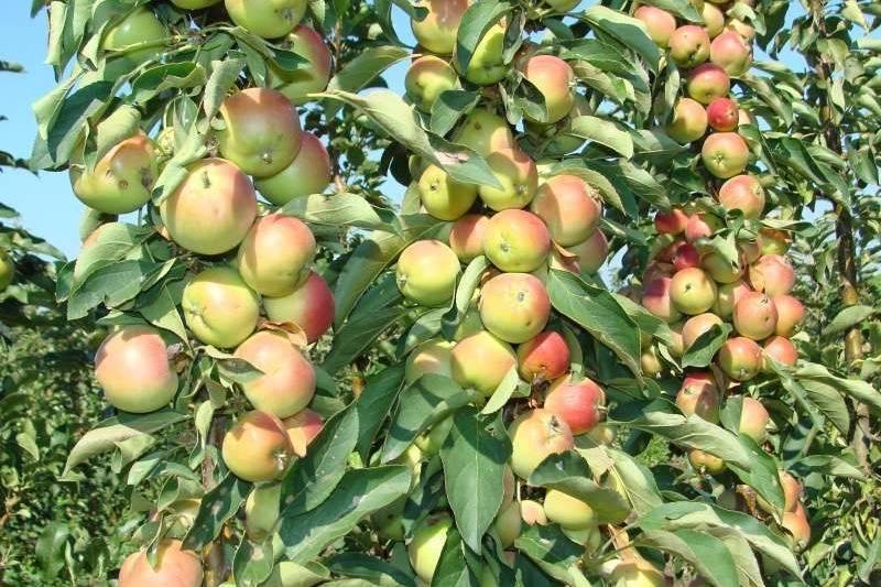 Яблони на карликовом подвое: сорта + фото