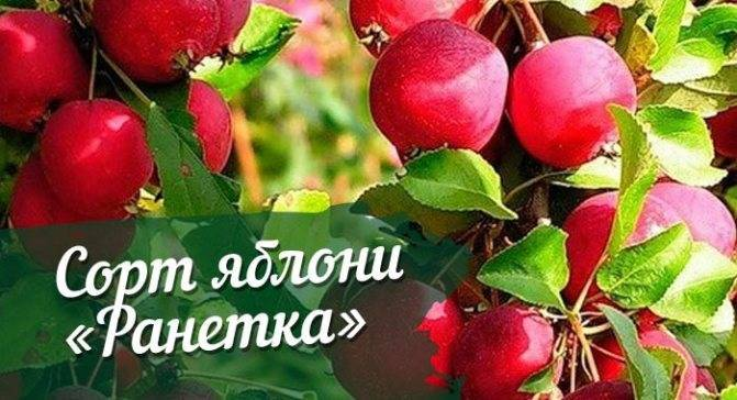 Уникальная яблоня чемпион: описание сорта
