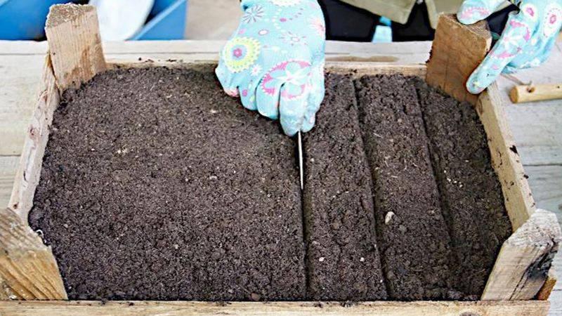 Как легко вырастить тую из семян