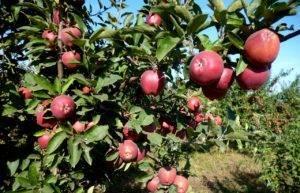 Сорт яблок старкримсон: описание и особенности выращивания, характеристики и фото