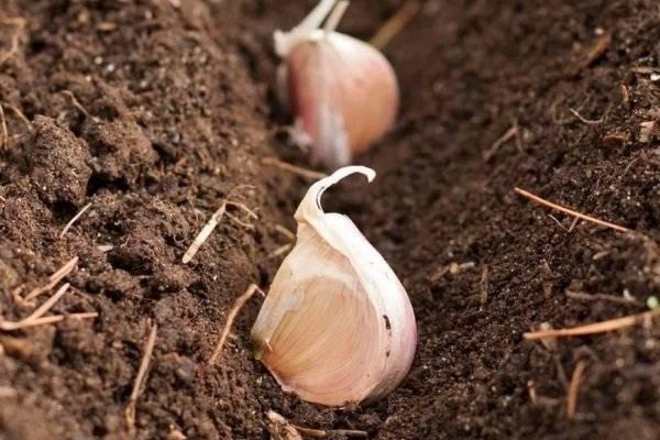 Сорт чеснока комсомолец – особенности посадки и выращивания