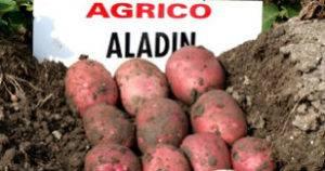 Сорт картофеля алладин: характеристика и описание сорта, фото