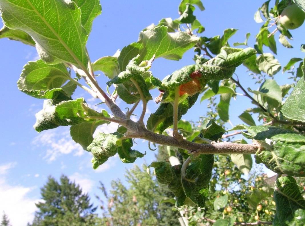 Листья черной смородины скручиваются: что делать