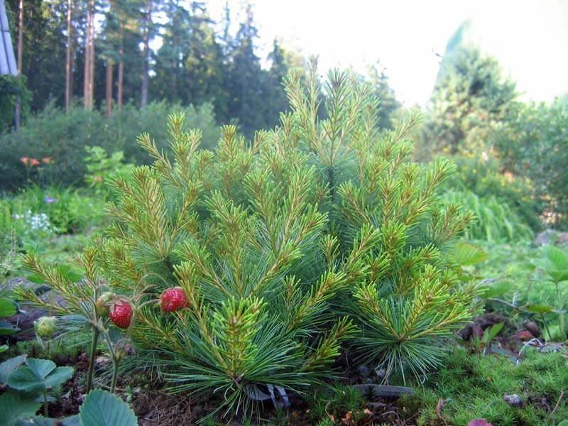 Сосна — виды и сорта. выращивание