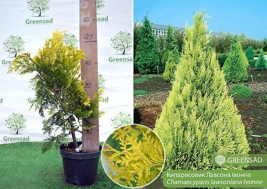 Описание и особенности вида кипарисовика лавсона, топ-10 сортов дерева