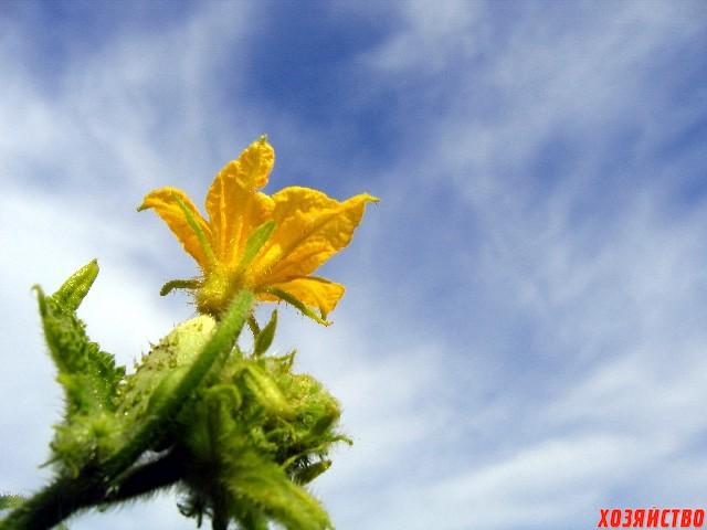 5 причин, почему не цветут огурцы