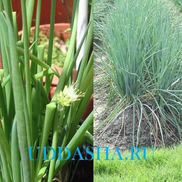 Правила и нюансы выращивания лука-батуна из семян на подоконнике или балконе дома