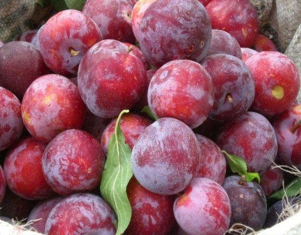 Особенности сорта сливы персиковая