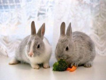Декоративные кролики — породы, уход, содержание, чем питаются и сколько живут домашние любимцы