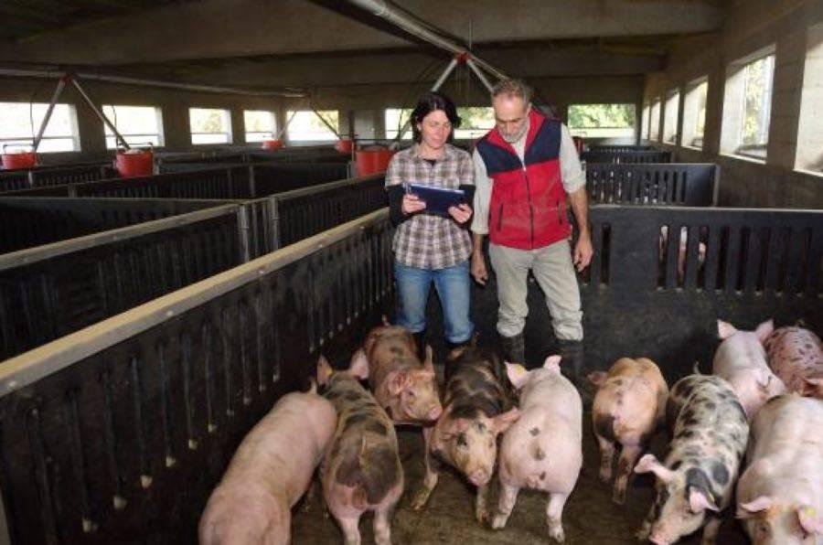 Африканская чума свиней: первые признаки болезни, способы заражения и методы борьбы