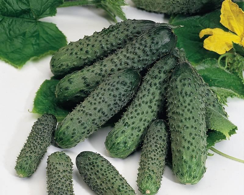 Тепличный востребованный гибрид с красивым названием и обильным урожаем — огурцы «изумрудные сережки»