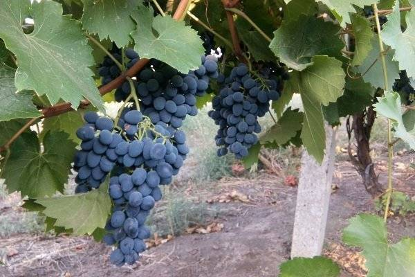 Бессемянный виноград кишмиш 342