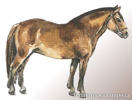 Особенности башкирской породы лошадей