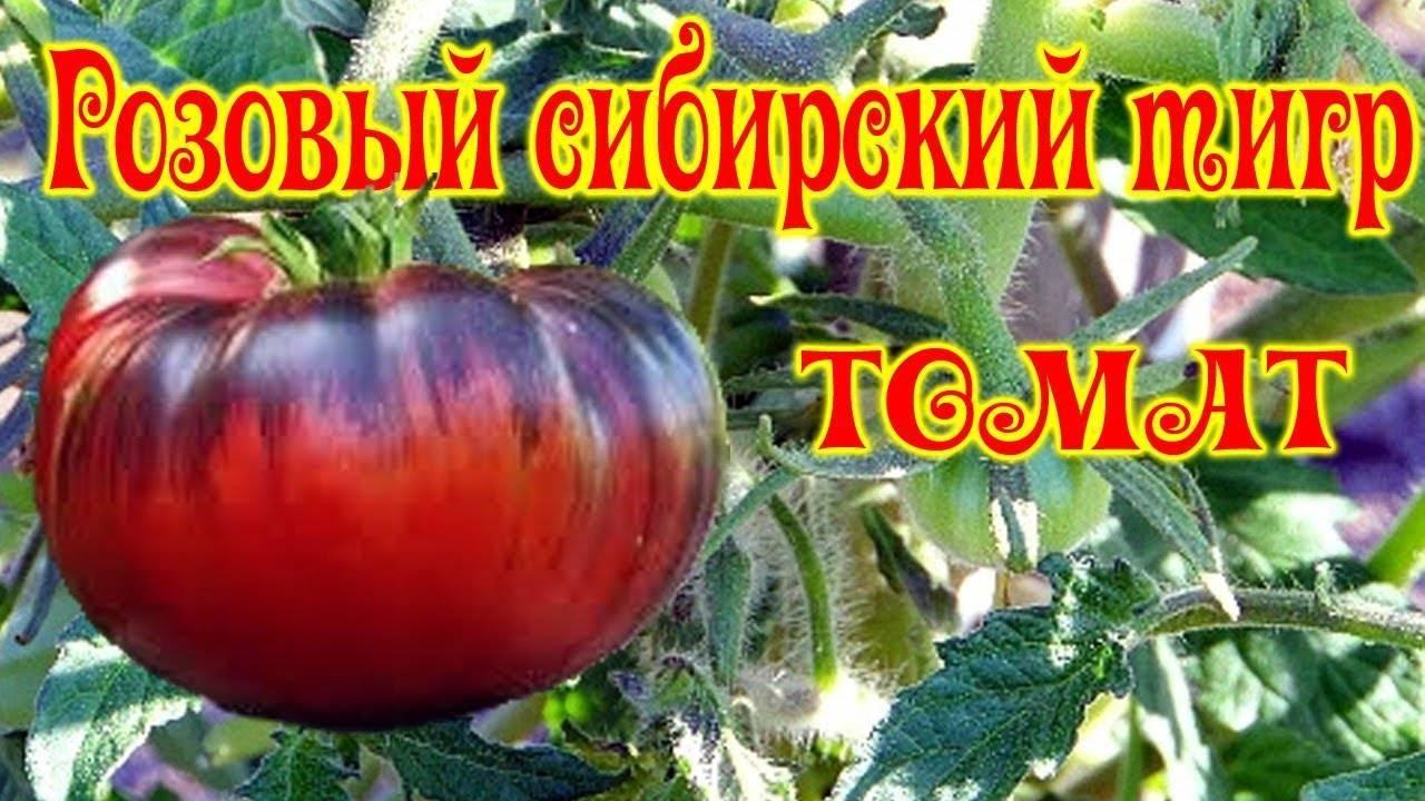 Характеристика сорта томата сибирский тигр и особенности его выращивания