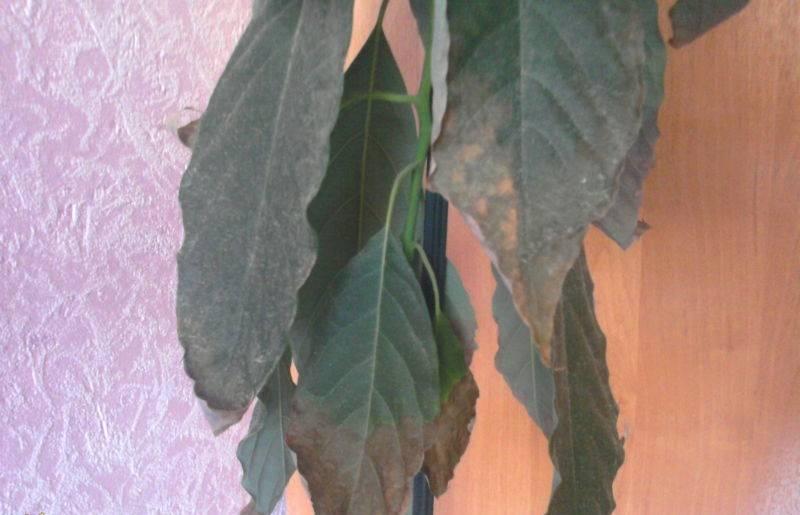 Авокадо темнеют листья. авокадо сохнет, чернеет. почему? как лечить? основные причины высыхания