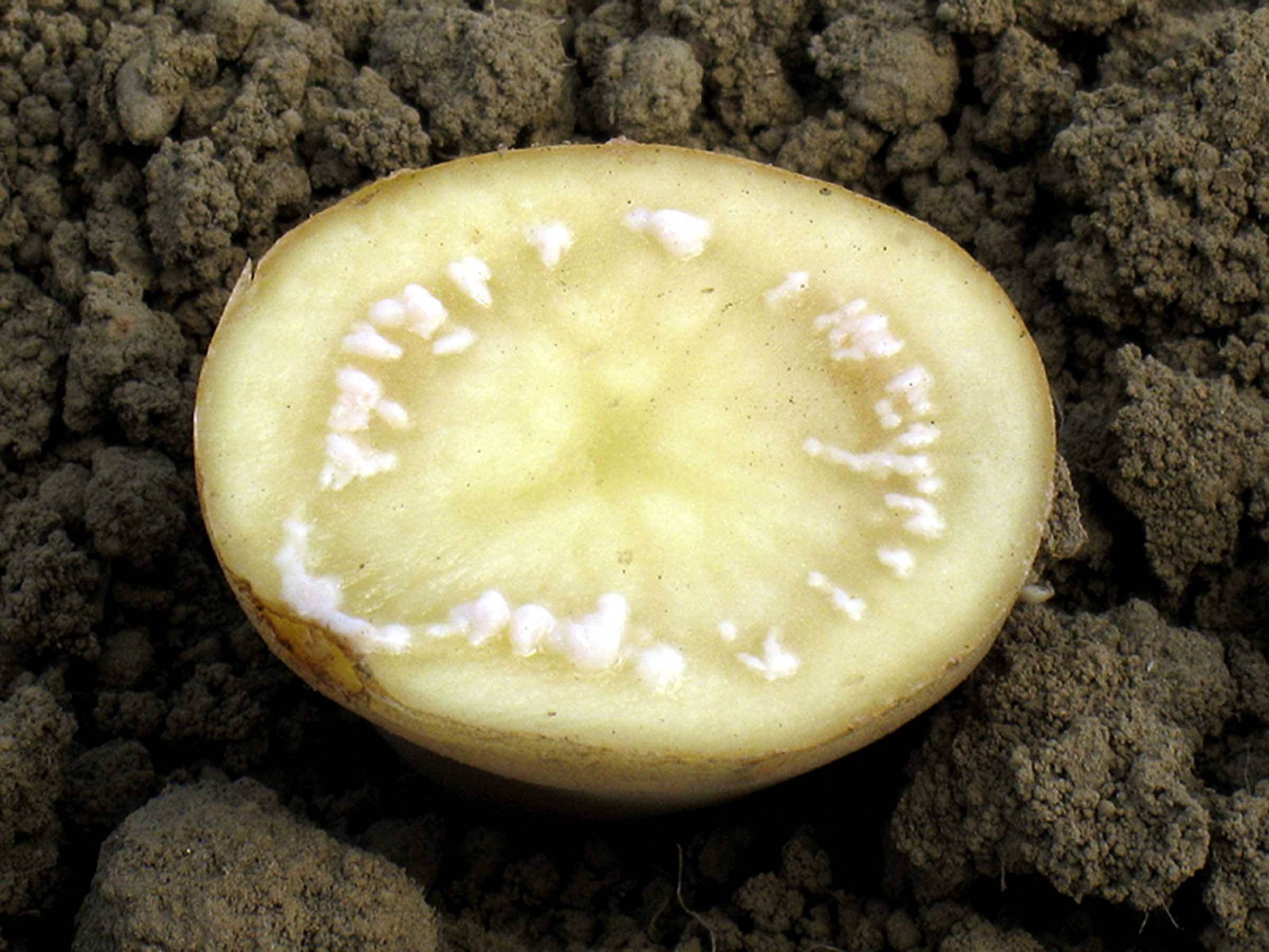 Почему возникает сухая гниль на картофеле и как от нее избавиться