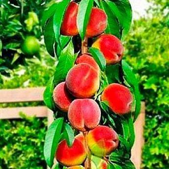 Колоновидный персик посадка и уход. уход за колоновидными персиками