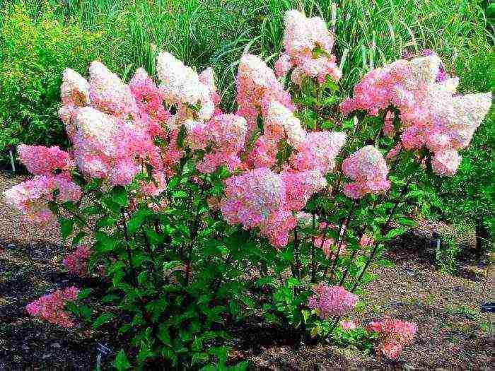Гортензия крупнолистная — пышное украшение сада