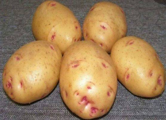 Картофель чародей описание сорта фото отзывы