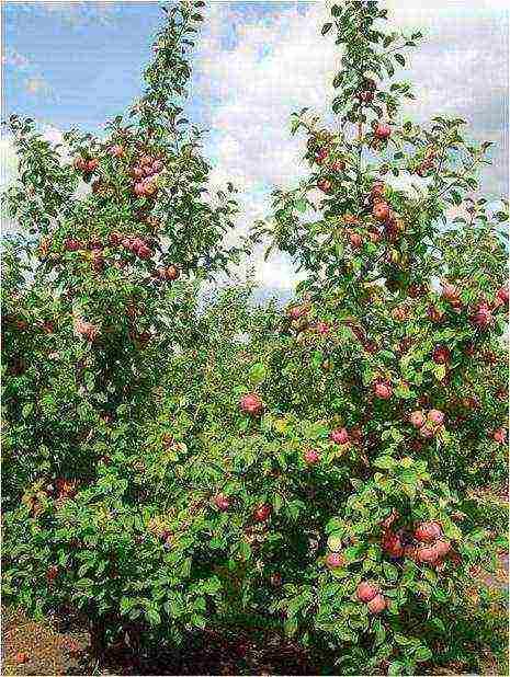 Карликовые яблони: 4 лучших сорта, правила посадки и ухода