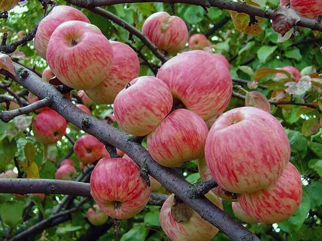 Яблоня бельфлер башкирский: описание сорта и его фото, особенности посадки, выращивания и ухода