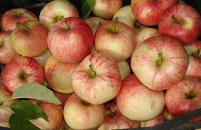 Описание и отзывы о популярной яблоне бельфлер китайка