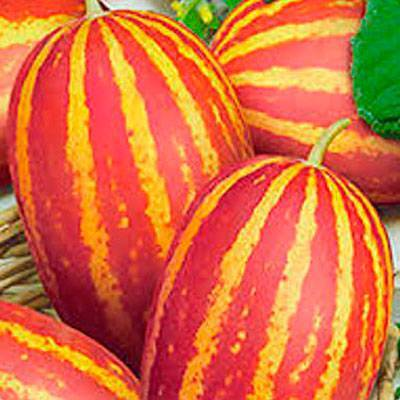 Дыня вьетнамская подарок дедушки хошимина: отзывы, выращивание, фото