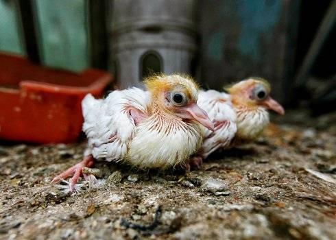 Птенцы голубя: как выглядят и почему их не видно?