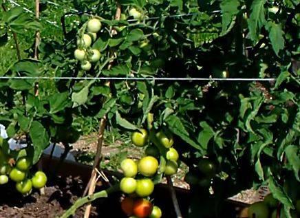 Яблонька россии: неприхотливый сорт ранних томатов