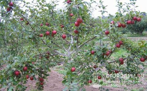 Правильный уход за яблоней коваленковской