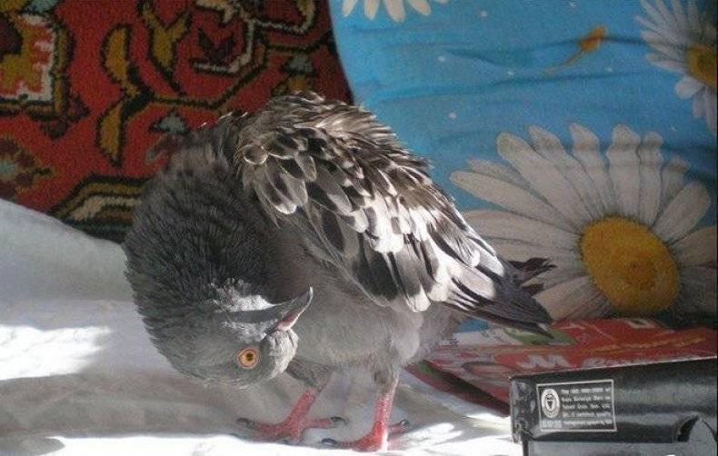 Болезнь ньюкасла или «вертячка у голубей» симптомы и лечение