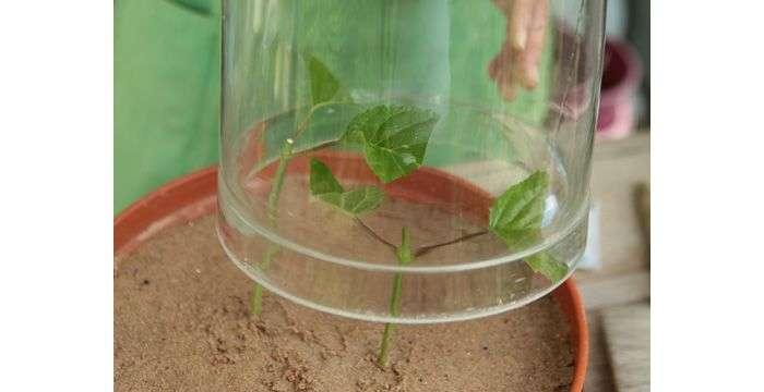 Размножение гортензии черенками в воде и грунте